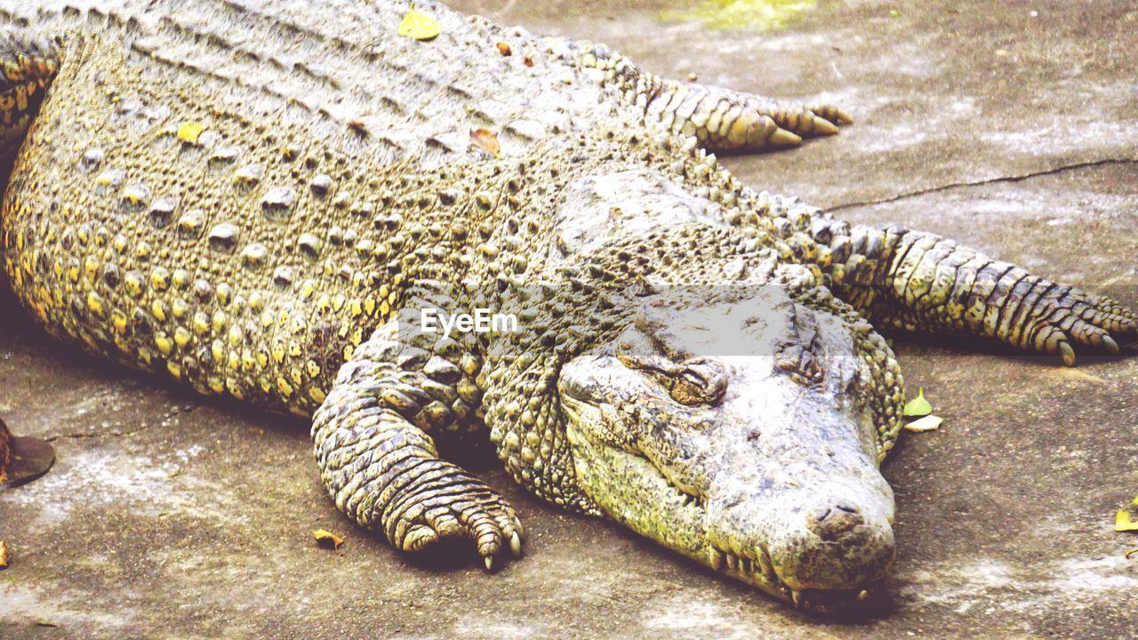 CLOSE-UP OF CROCODILE ON ZEBRA