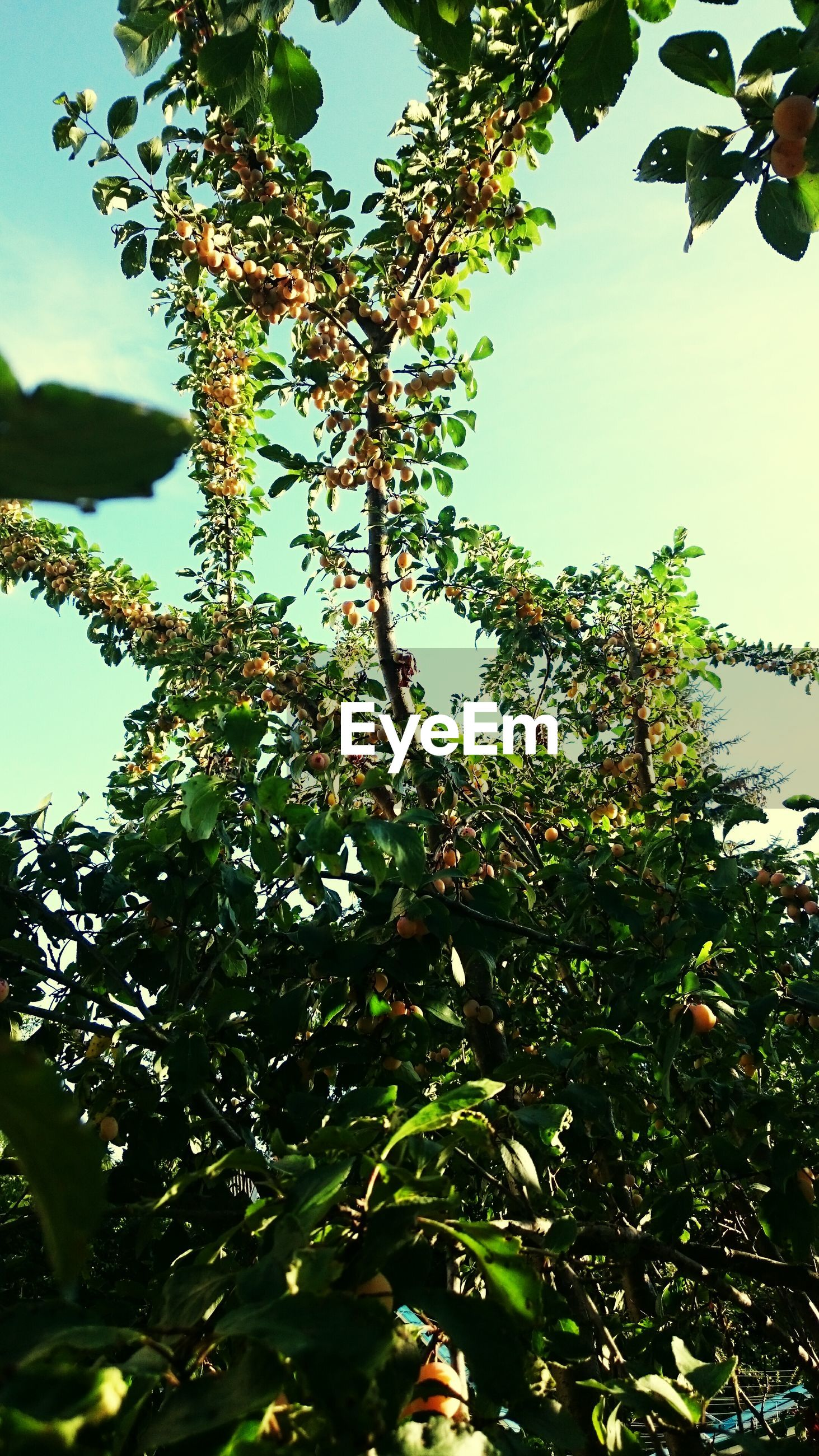 Low angle view of berry tree against sky