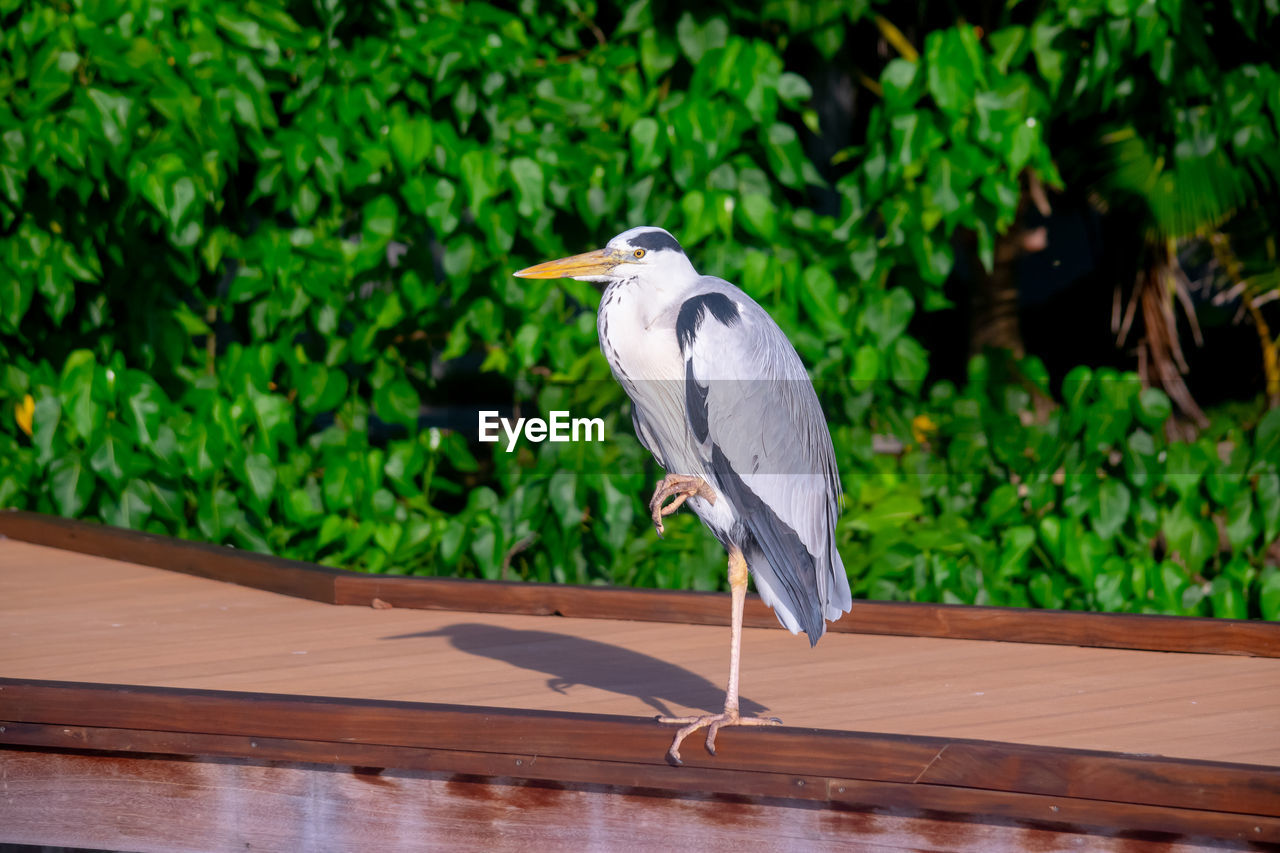 vertebrate, bird, one animal, heron, animal, animals in the wild, animal themes, animal wildlife, plant, focus on foreground, no people, nature, wood - material, perching, day, water bird, green color, gray heron, growth, outdoors