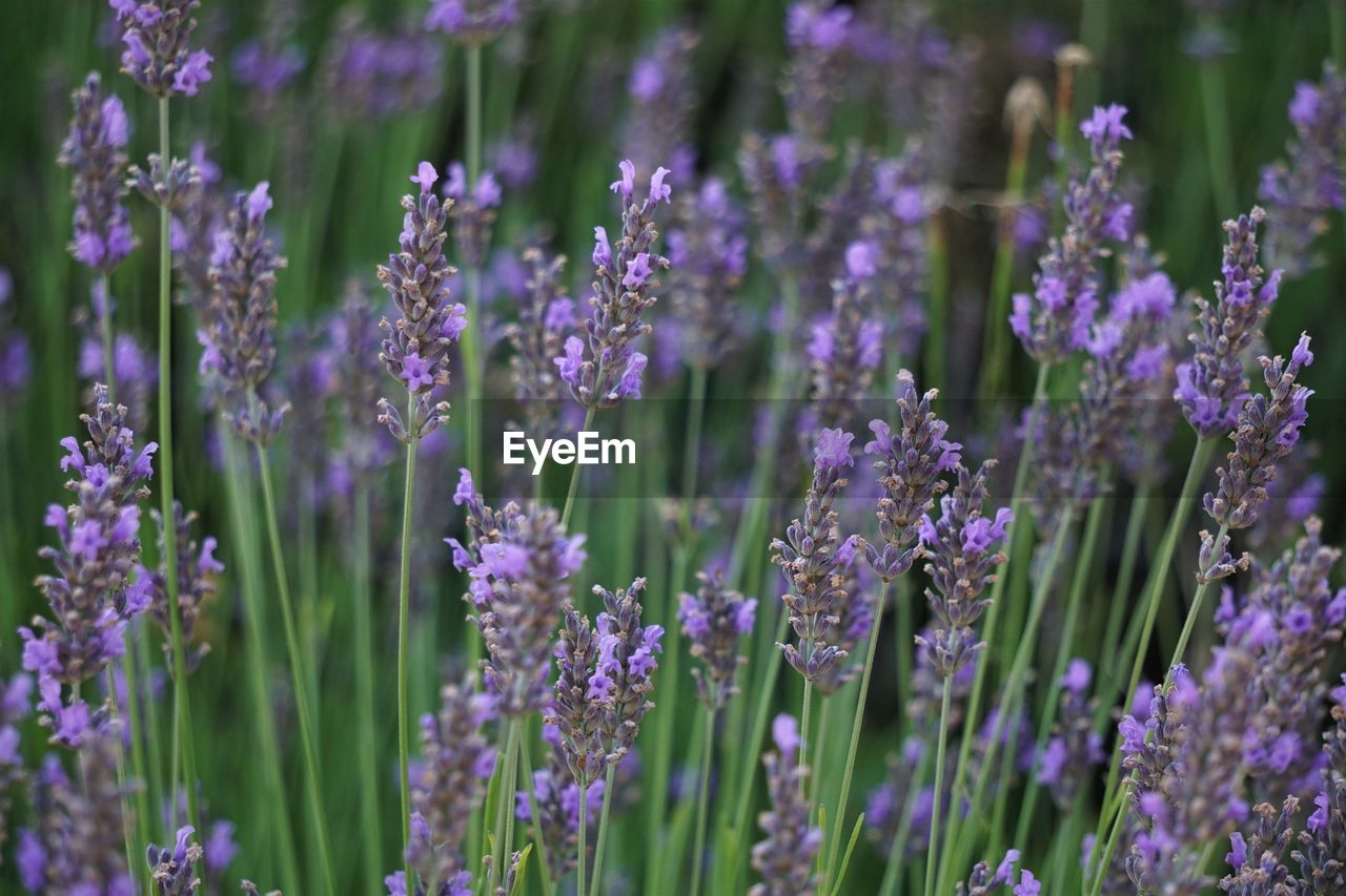 flower, flowering plant, vulnerability, fragility, purple, beauty in nature, lavender, growth, plant, freshness, selective focus, close-up, nature, no people, day, lavender colored, petal, outdoors, field, land, flower head