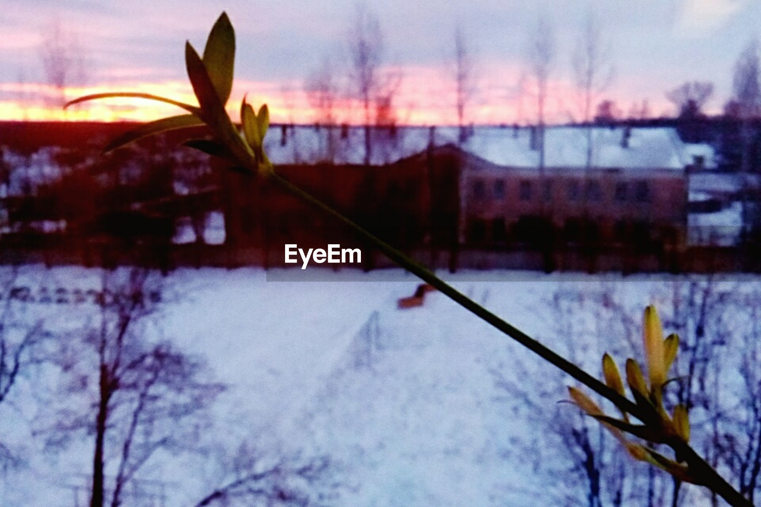 sunset, nature, no people, winter, outdoors, beauty in nature, plant, snow, water, sky, growth, leaf, cold temperature, close-up, day