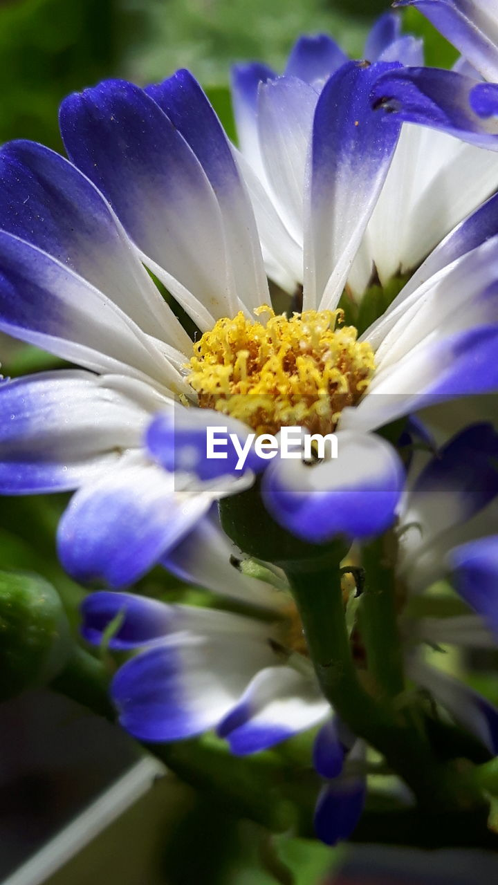 flower, petal, fragility, beauty in nature, freshness, nature, growth, flower head, purple, plant, close-up, blooming, no people, blue, day, outdoors, iris - plant, passion flower
