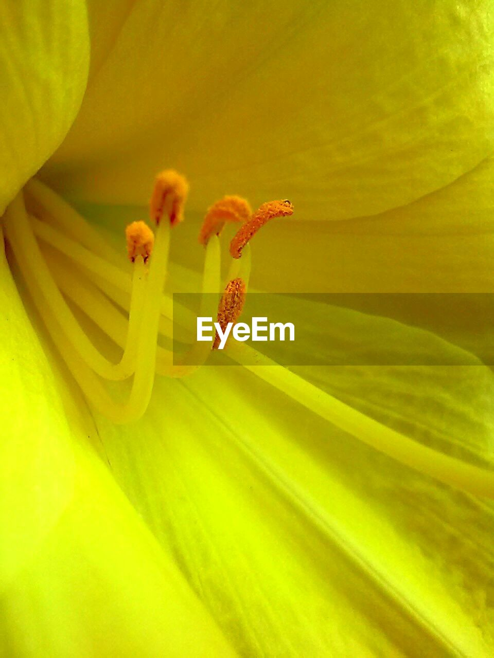 flower, growth, fragility, petal, nature, freshness, beauty in nature, plant, flower head, stamen, no people, yellow, close-up, backgrounds, springtime, lily, day lily, blooming, day, outdoors