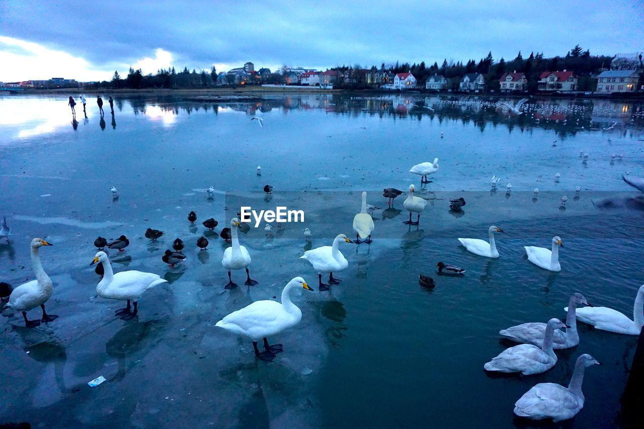 large group of animals, animals in the wild, water, bird, swan, animal themes, lake, nature, swimming, animal wildlife, white color, day, reflection, outdoors, beauty in nature, flock of birds, no people, sky, cold temperature, winter, water bird, scenics