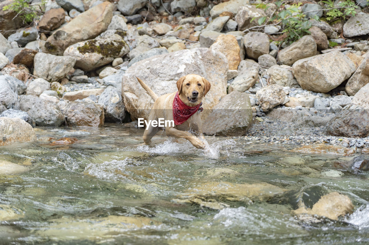 one animal, animal themes, animal, mammal, water, rock, canine, solid, dog, rock - object, pets, domestic, domestic animals, nature, waterfront, day, vertebrate, portrait, retriever, no people, outdoors, stream - flowing water, animal head