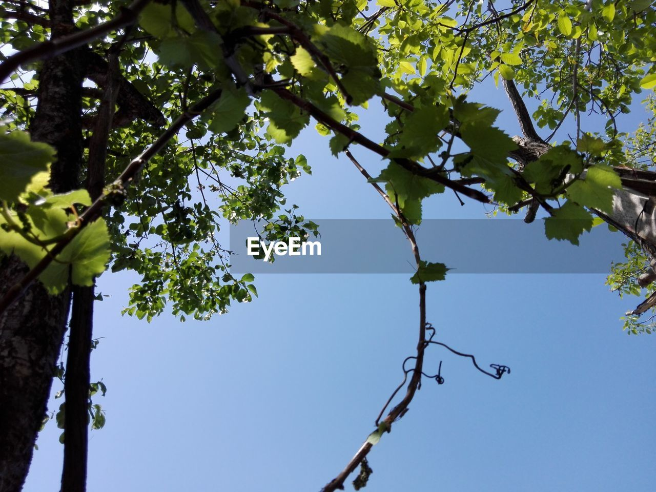 tree, low angle view, plant, sky, branch, growth, nature, day, plant part, no people, leaf, clear sky, beauty in nature, green color, outdoors, sunlight, tranquility, blue, tree trunk, trunk