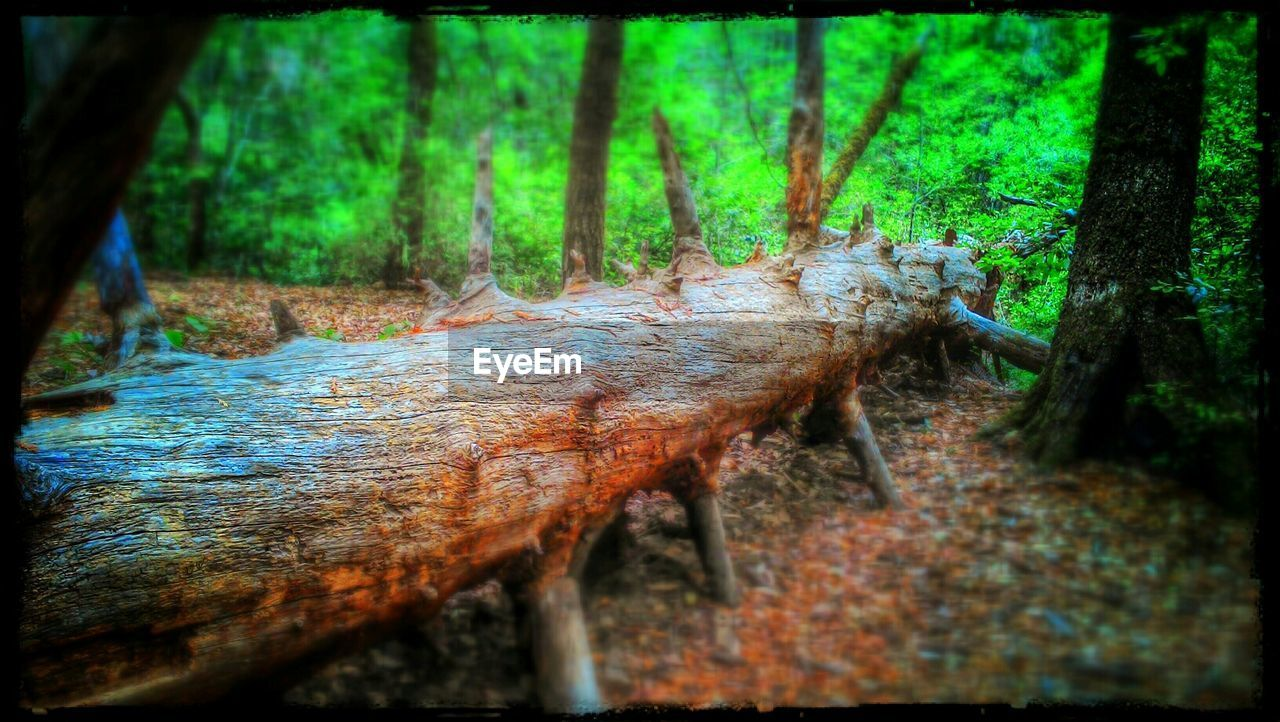 tree trunk, forest, tree, nature, no people, day, woodland, outdoors, growth, close-up, beauty in nature