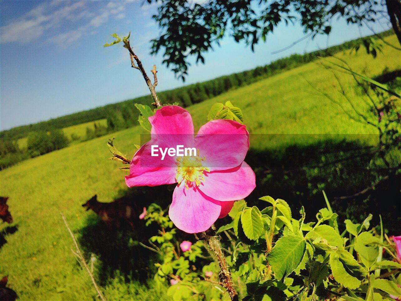 flower, fragility, pink color, growth, nature, beauty in nature, petal, plant, flower head, no people, focus on foreground, day, green color, leaf, outdoors, freshness, close-up, blooming, tree, hibiscus, sky