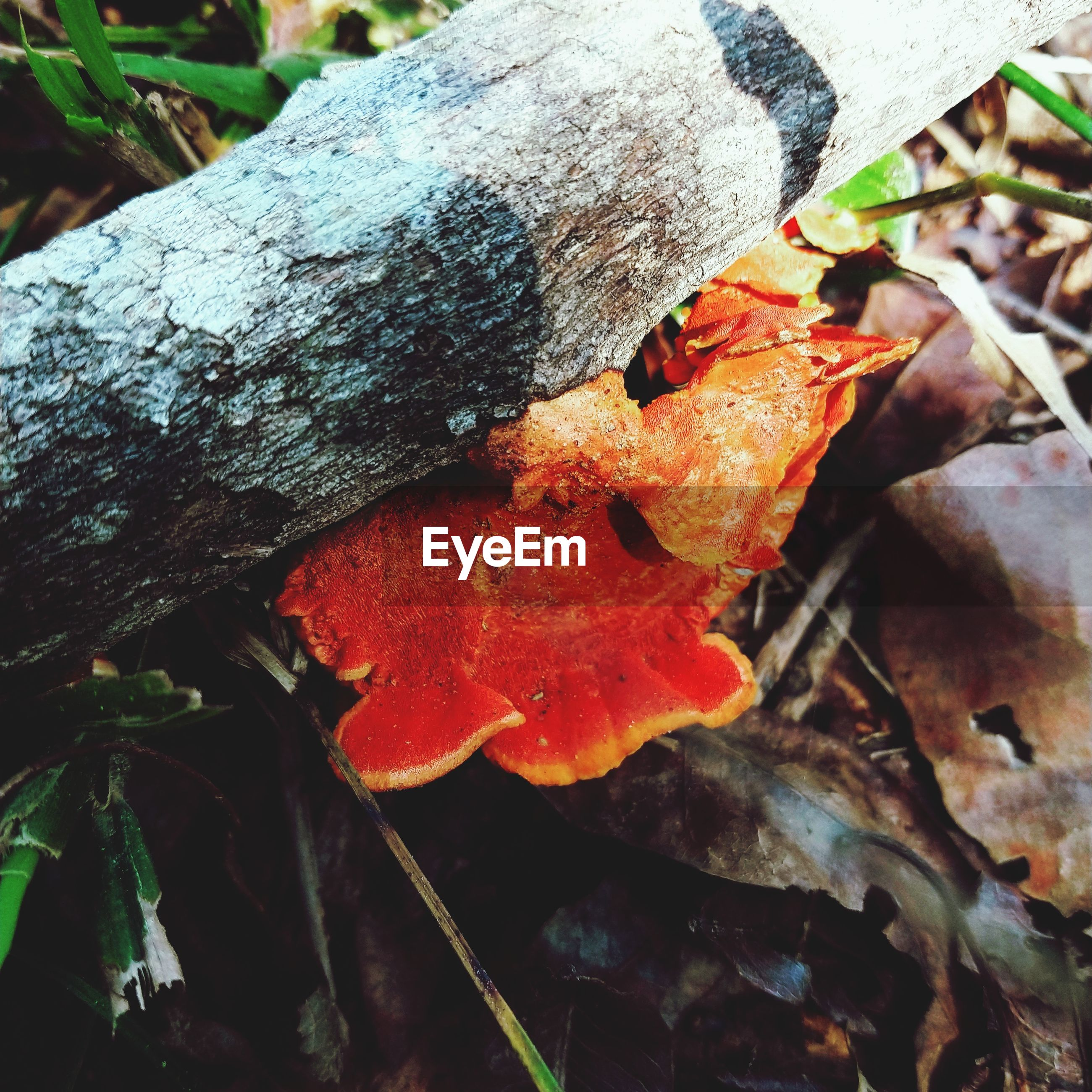 CLOSE-UP OF ORANGE MUSHROOM GROWING ON TREE TRUNK