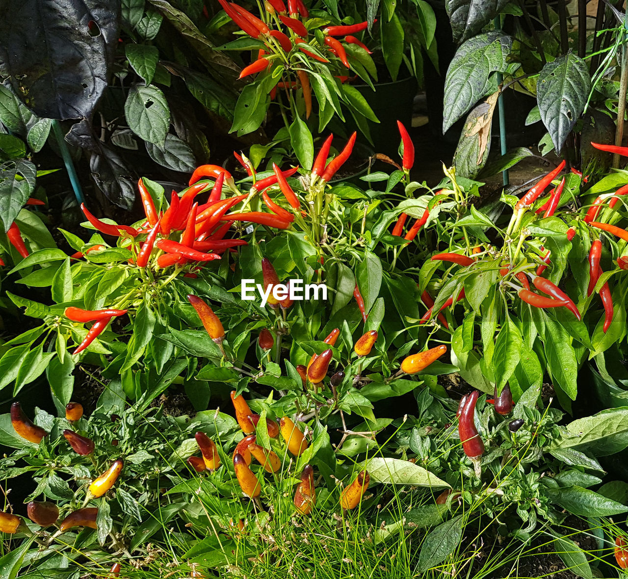 growth, plant, plant part, leaf, green color, red, nature, no people, beauty in nature, chili pepper, freshness, close-up, day, flowering plant, orange color, vulnerability, flower, fragility, pepper, spice, outdoors