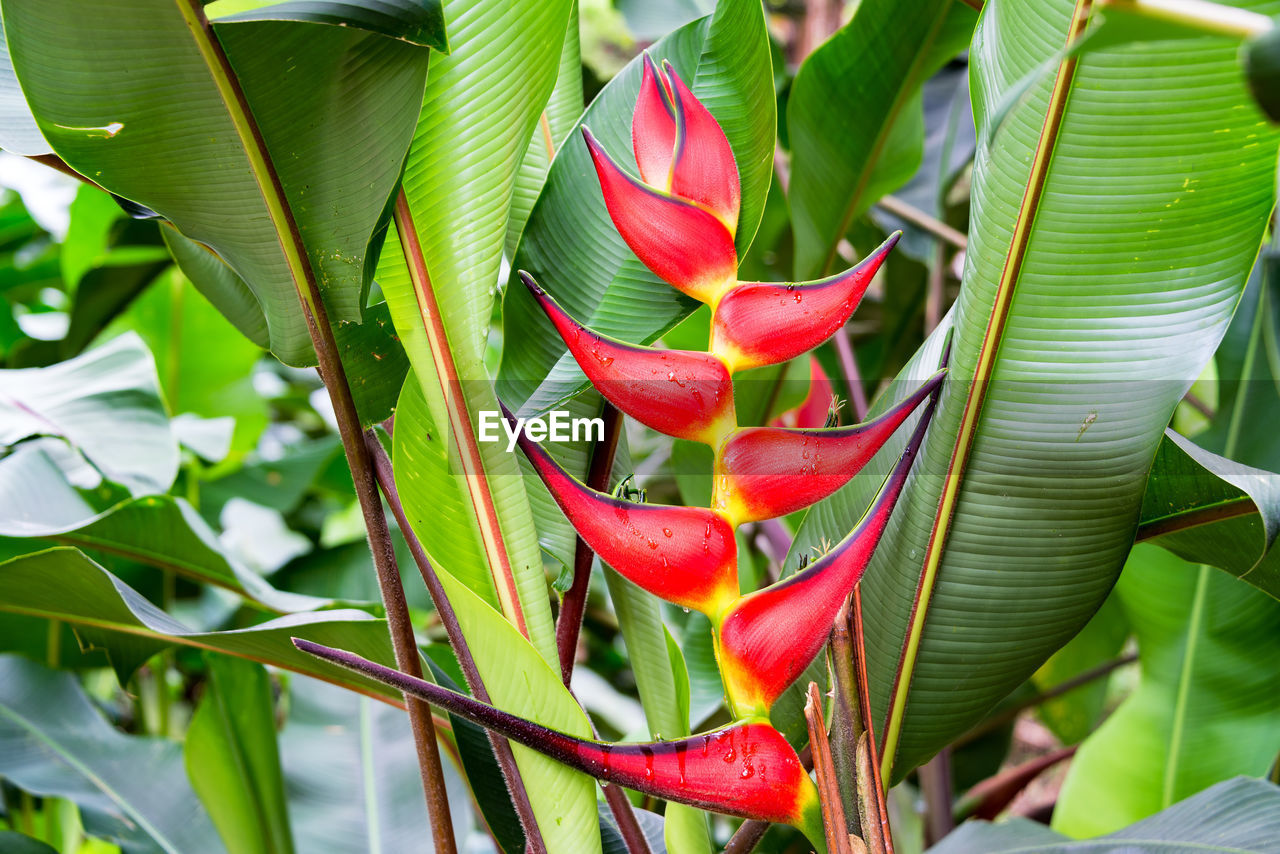 growth, leaf, green color, red, nature, beauty in nature, outdoors, day, freshness, plant, no people, close-up, banana tree, tree, fragility