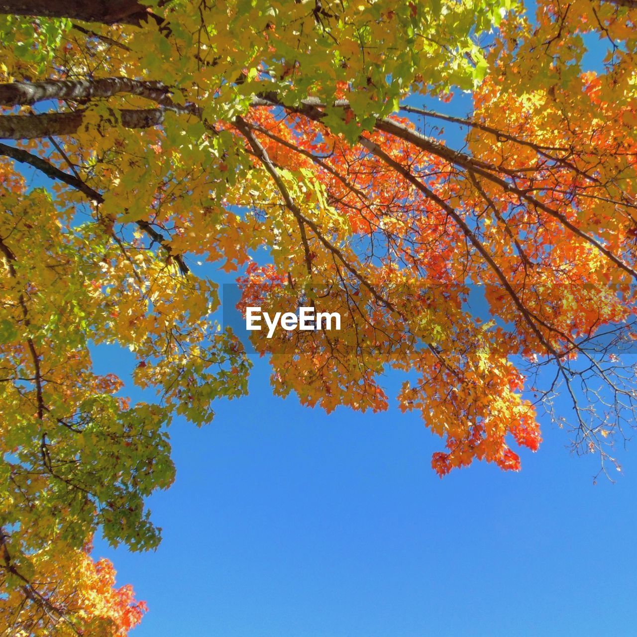 autumn, tree, change, leaf, nature, branch, beauty in nature, low angle view, maple tree, growth, outdoors, orange color, maple leaf, day, scenics, blue, no people, tranquility, sky, maple, clear sky, fragility, freshness, close-up