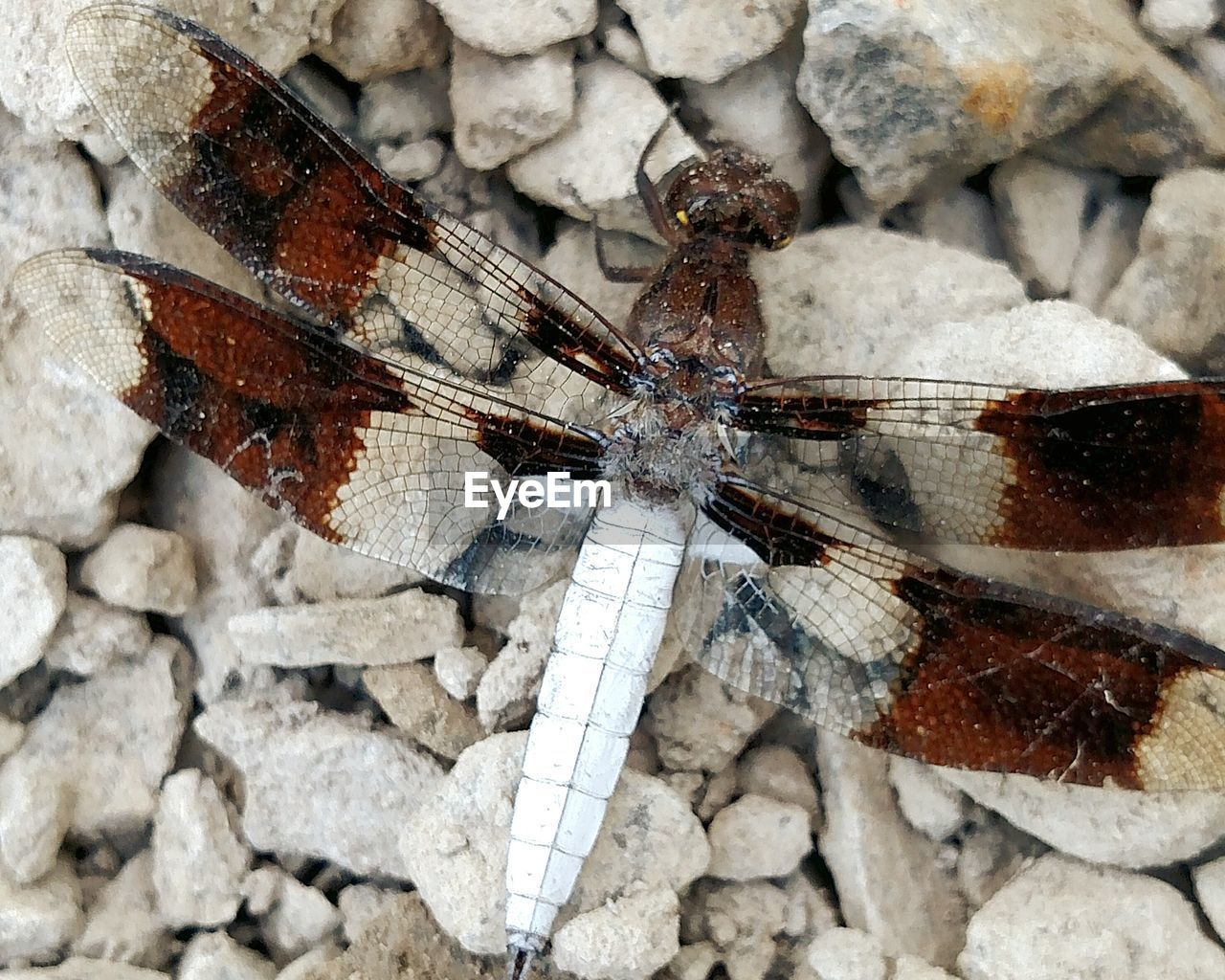 Directly above view of dragonfly on stones