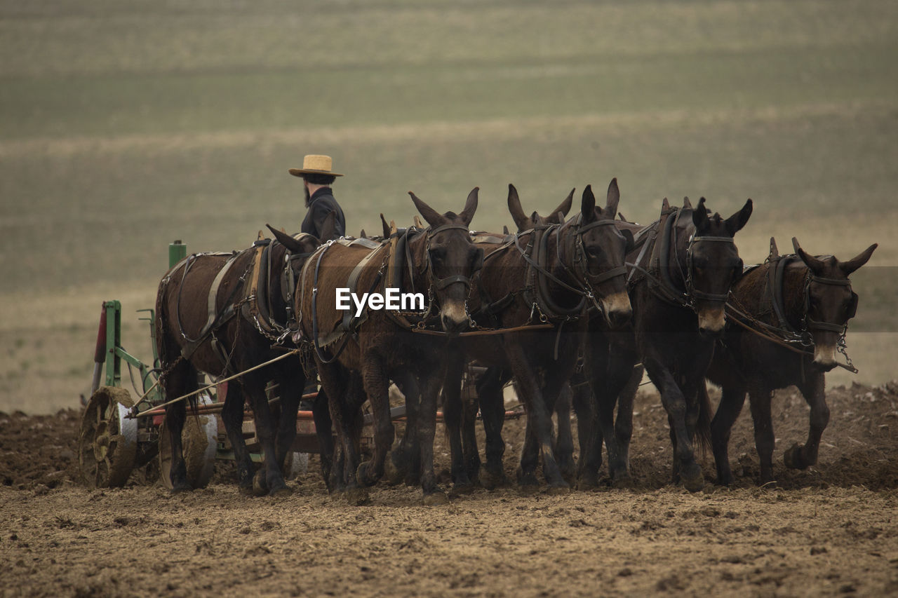Male Farmer With Horses Plowing Field
