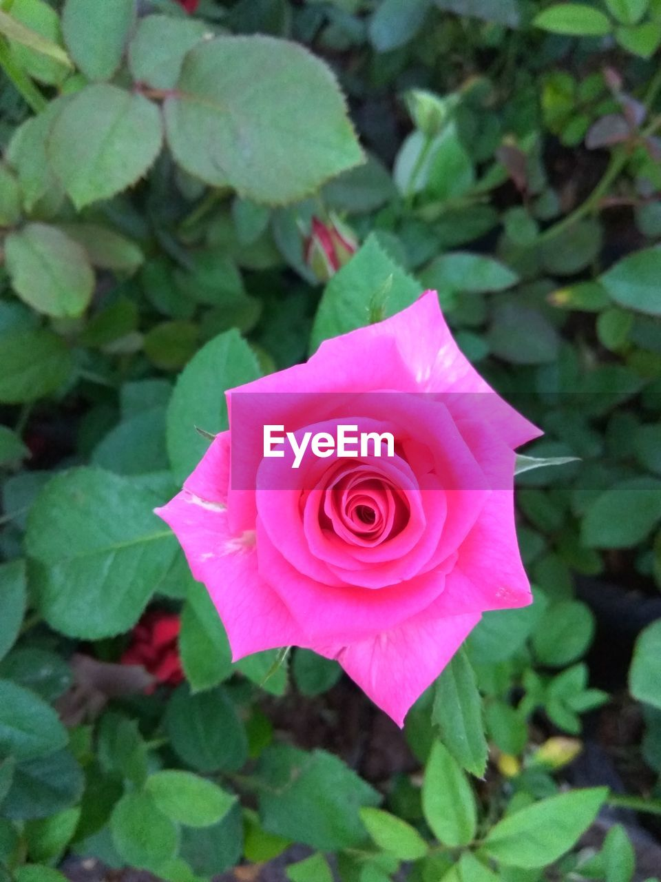 flower, rose - flower, petal, nature, flower head, fragility, beauty in nature, pink color, plant, leaf, freshness, growth, close-up, blooming, no people, rose petals, outdoors, day