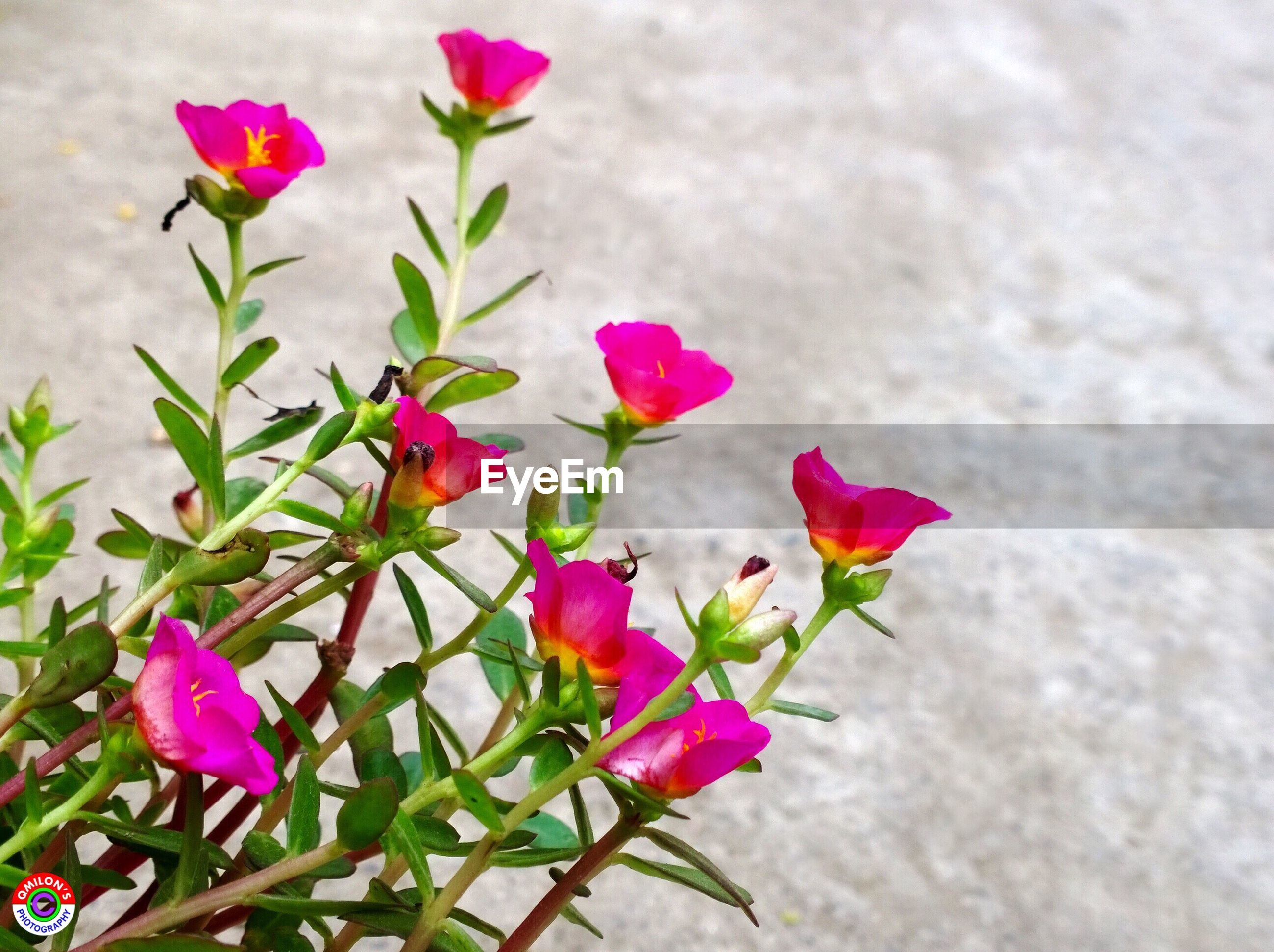 flower, petal, freshness, fragility, pink color, growth, flower head, beauty in nature, leaf, plant, nature, stem, blooming, close-up, pink, in bloom, blossom, bud, botany, day, outdoors, no people, focus on foreground, growing, selective focus, softness
