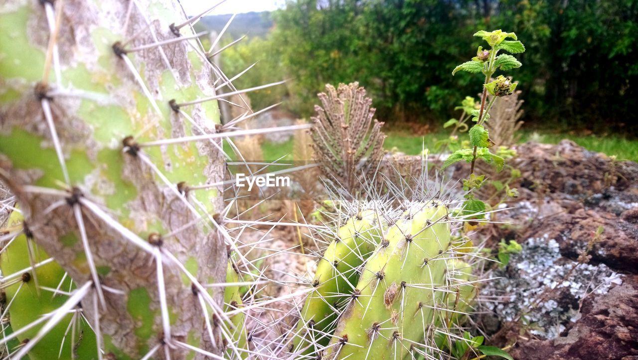 Cactus Spider Web Web Cactus