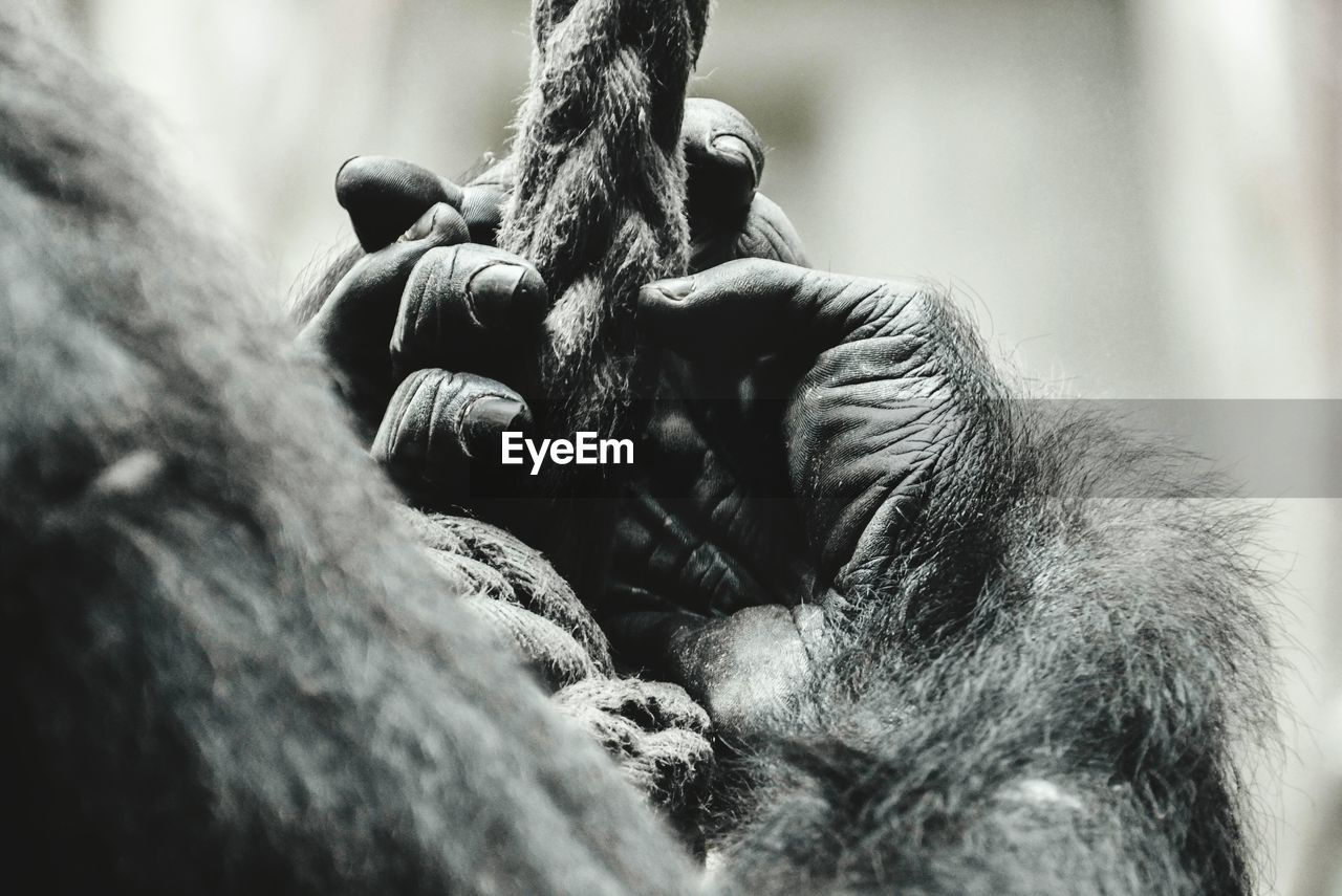 Cropped image of gorilla holding rope