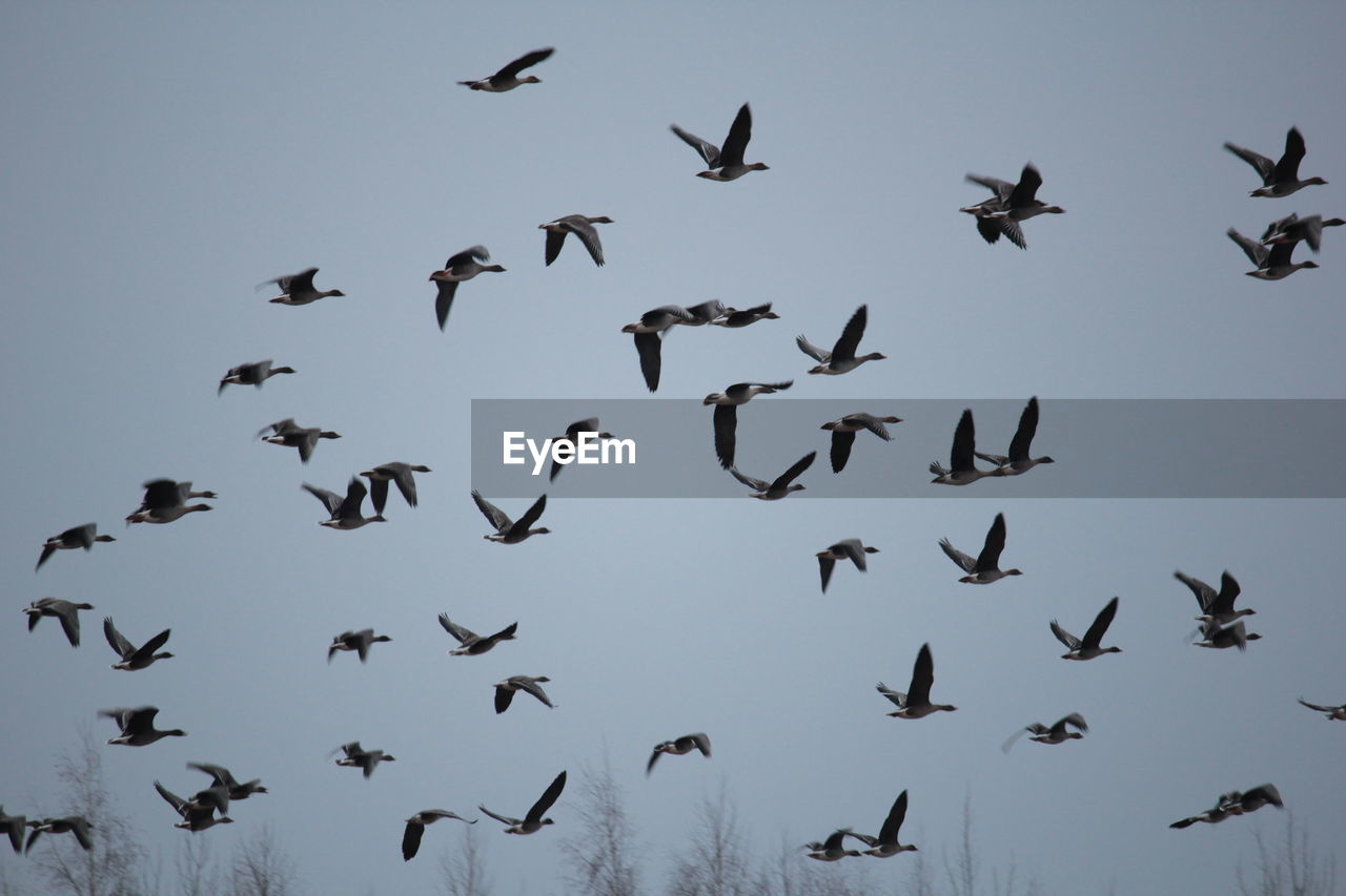 flying, animals in the wild, bird, large group of animals, animal themes, flock of birds, animal wildlife, mid-air, low angle view, spread wings, outdoors, no people, day, sky, nature, crane - bird, clear sky