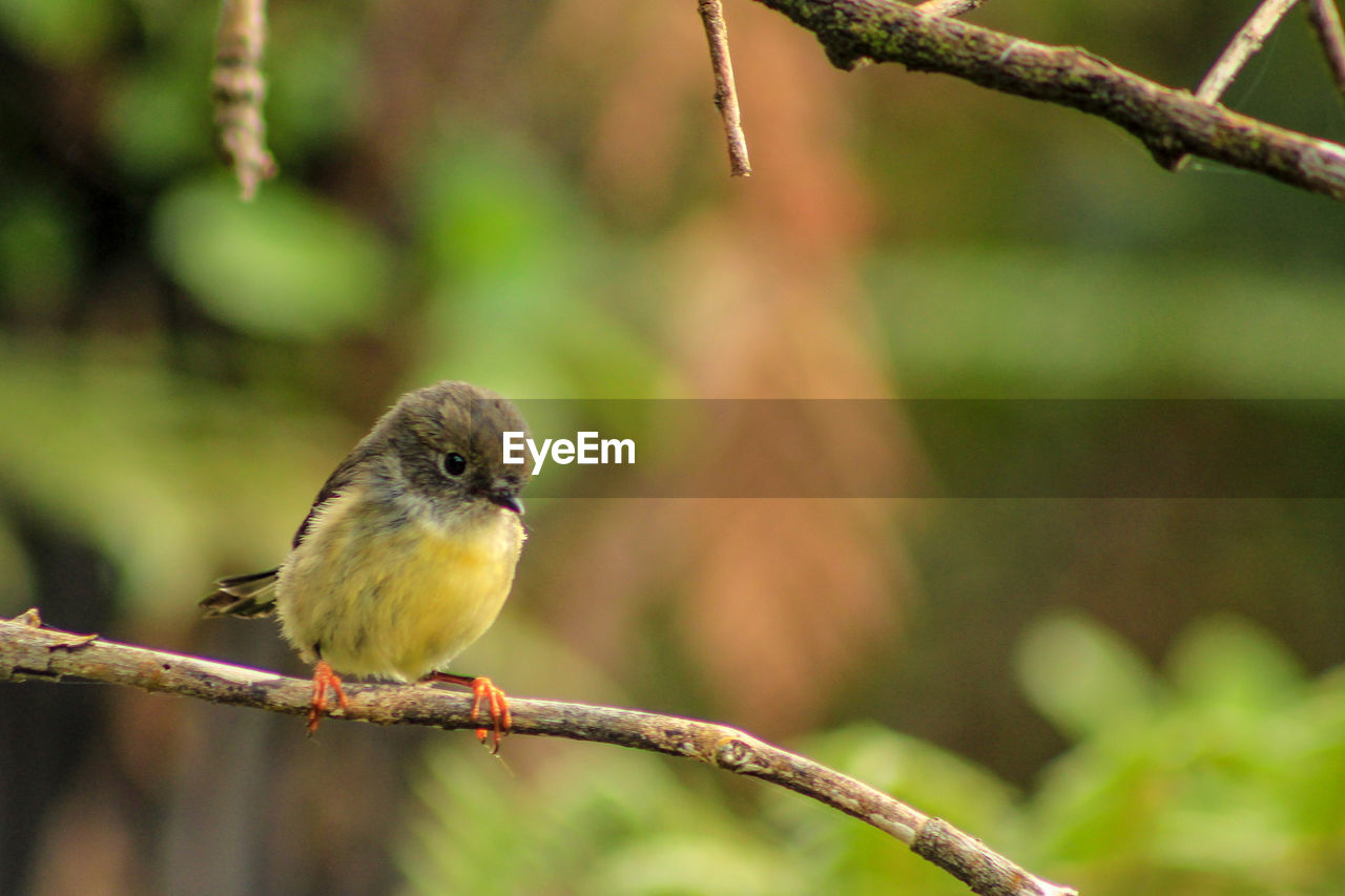 vertebrate, animal themes, bird, animal, one animal, animal wildlife, animals in the wild, perching, focus on foreground, tree, plant, day, close-up, branch, nature, no people, outdoors, zoology, green color, robin