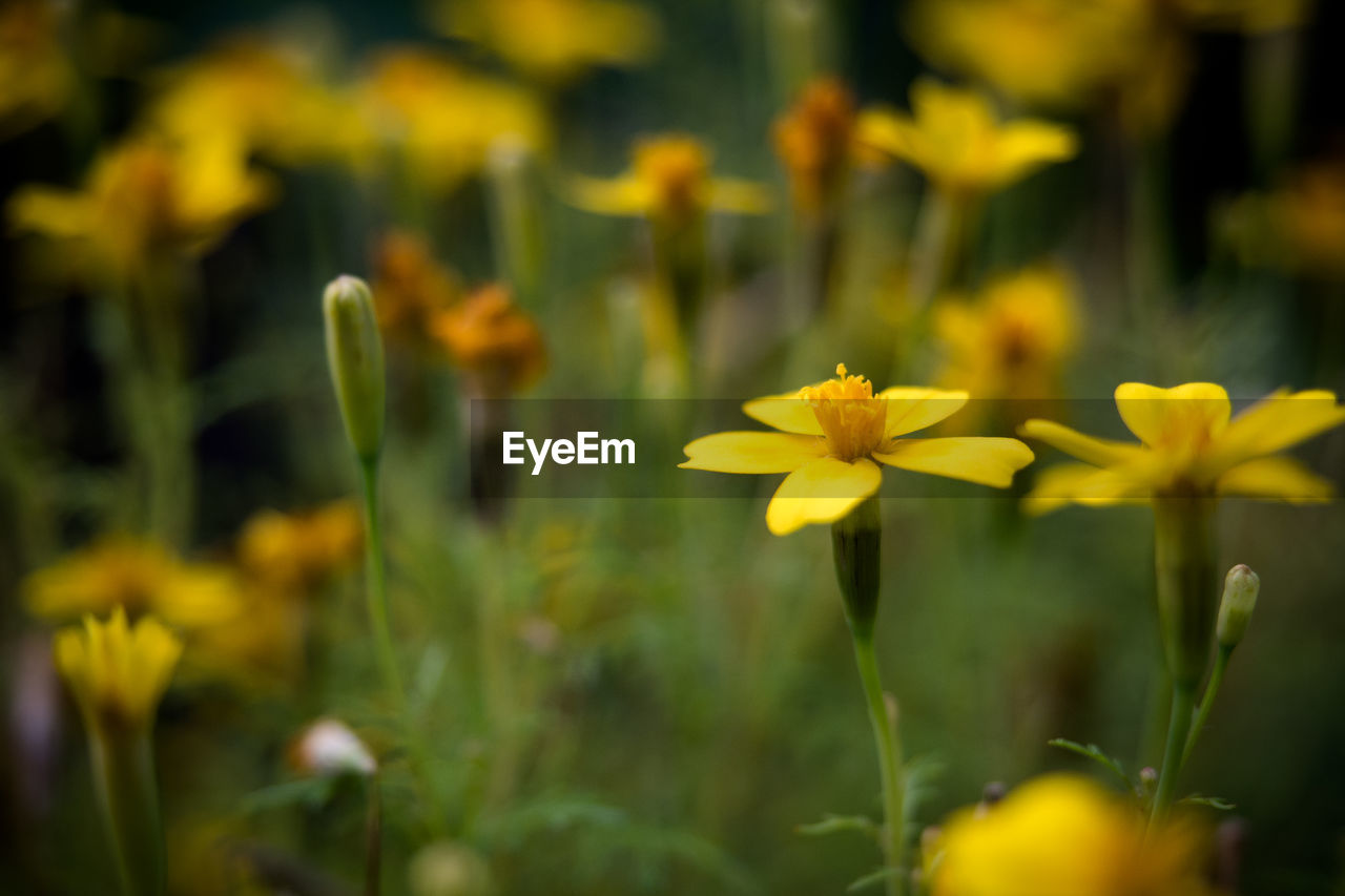 flower, yellow, growth, plant, nature, beauty in nature, blooming, freshness, fragility, no people, outdoors, flower head, day, close-up