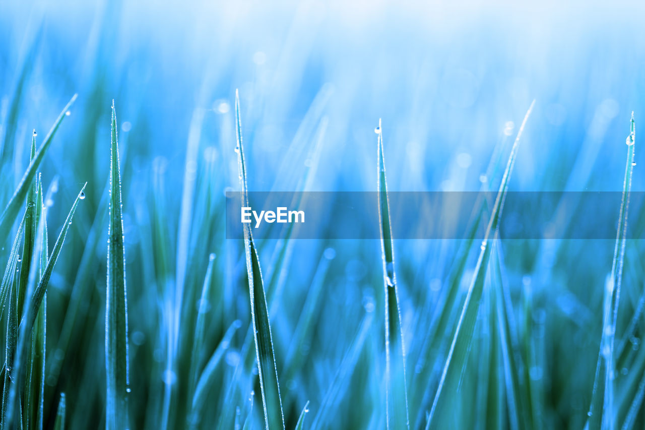 growth, plant, beauty in nature, close-up, nature, no people, selective focus, grass, day, green color, agriculture, field, blade of grass, crop, land, freshness, tranquility, rural scene, sunlight, outdoors, dew