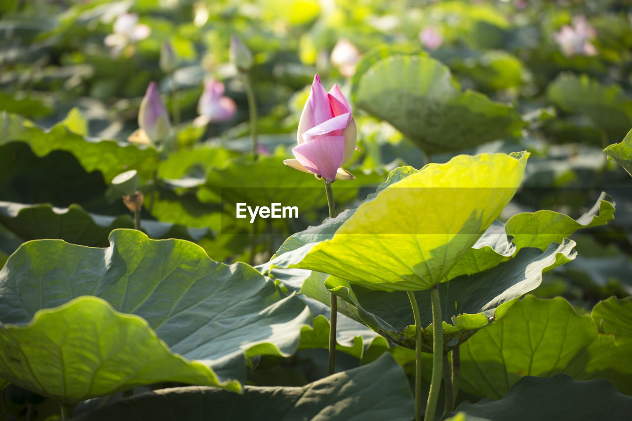 plant, flower, beauty in nature, flowering plant, freshness, vulnerability, fragility, growth, plant part, leaf, close-up, petal, green color, flower head, nature, inflorescence, water lily, lotus water lily, focus on foreground, day, pink color, no people, outdoors