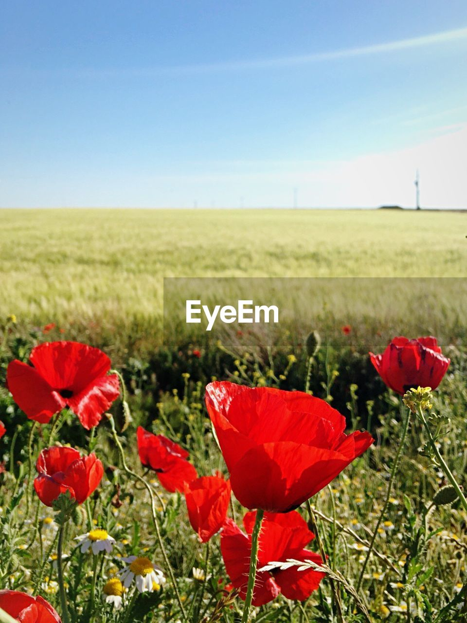field, red, flower, nature, growth, poppy, beauty in nature, agriculture, landscape, sky, grass, day, green color, clear sky, horizon over land, no people, rural scene, plant, outdoors, scenics, fragility, freshness, close-up, flower head