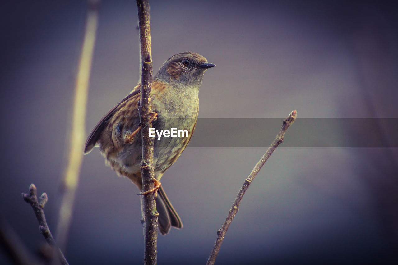 bird, animals in the wild, animal themes, perching, one animal, animal wildlife, no people, outdoors, nature, close-up, day, beauty in nature, sparrow