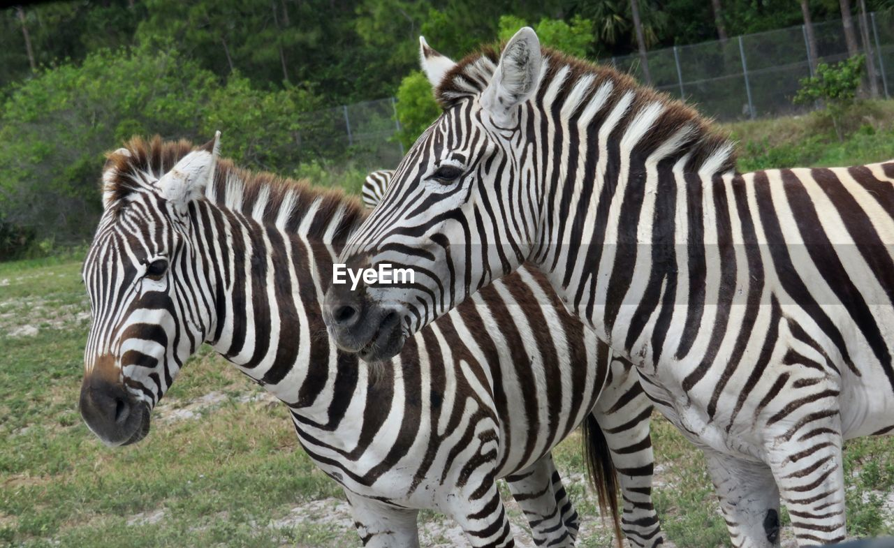 zebra, striped, mammal, animal wildlife, animal themes, animal, group of animals, animals in the wild, two animals, safari, no people, plant, grass, nature, day, standing, land, domestic animals, field, outdoors, herbivorous, animal head, herd