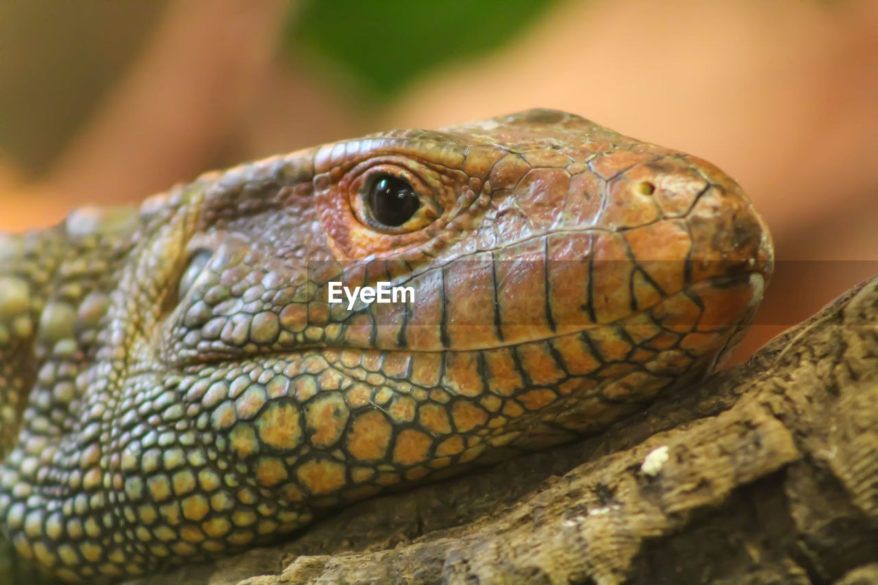 reptile, animals in the wild, animal wildlife, one animal, close-up, animal themes, focus on foreground, no people, day, outdoors, nature