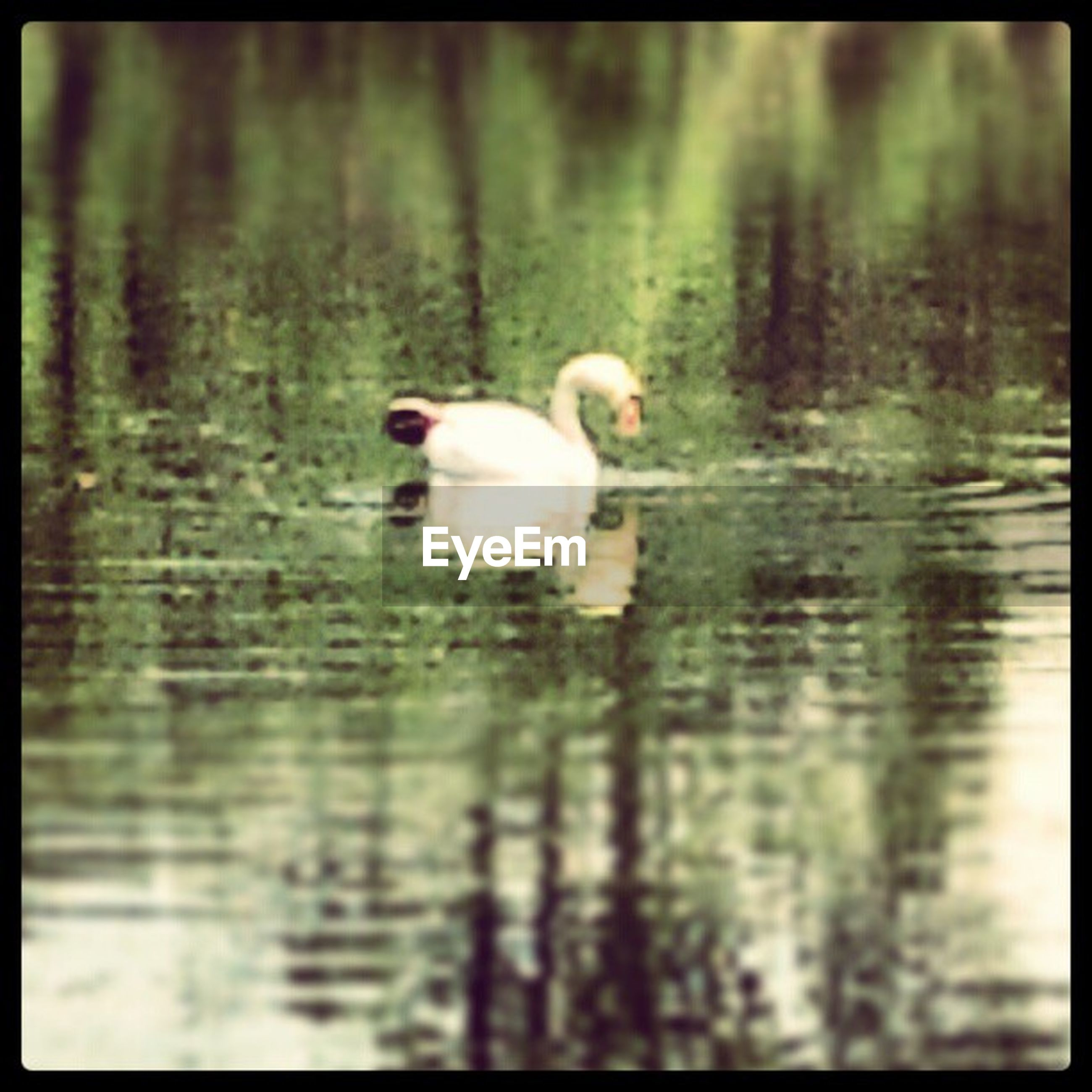animal themes, animals in the wild, wildlife, bird, lake, water, one animal, waterfront, transfer print, reflection, swimming, swan, auto post production filter, nature, zoology, white color, two animals, vertebrate, water bird, rippled