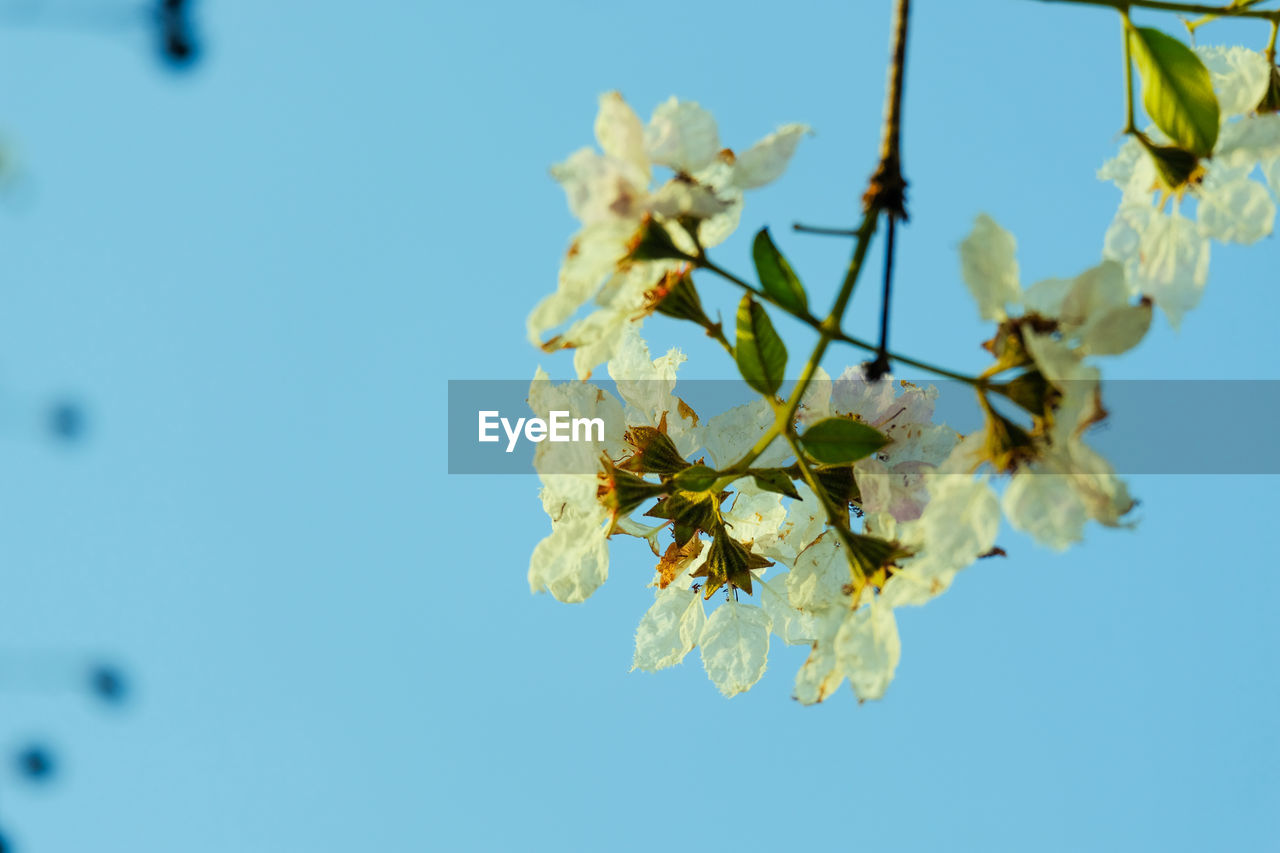 CLOSE-UP OF CHERRY BLOSSOM AGAINST CLEAR BLUE SKY