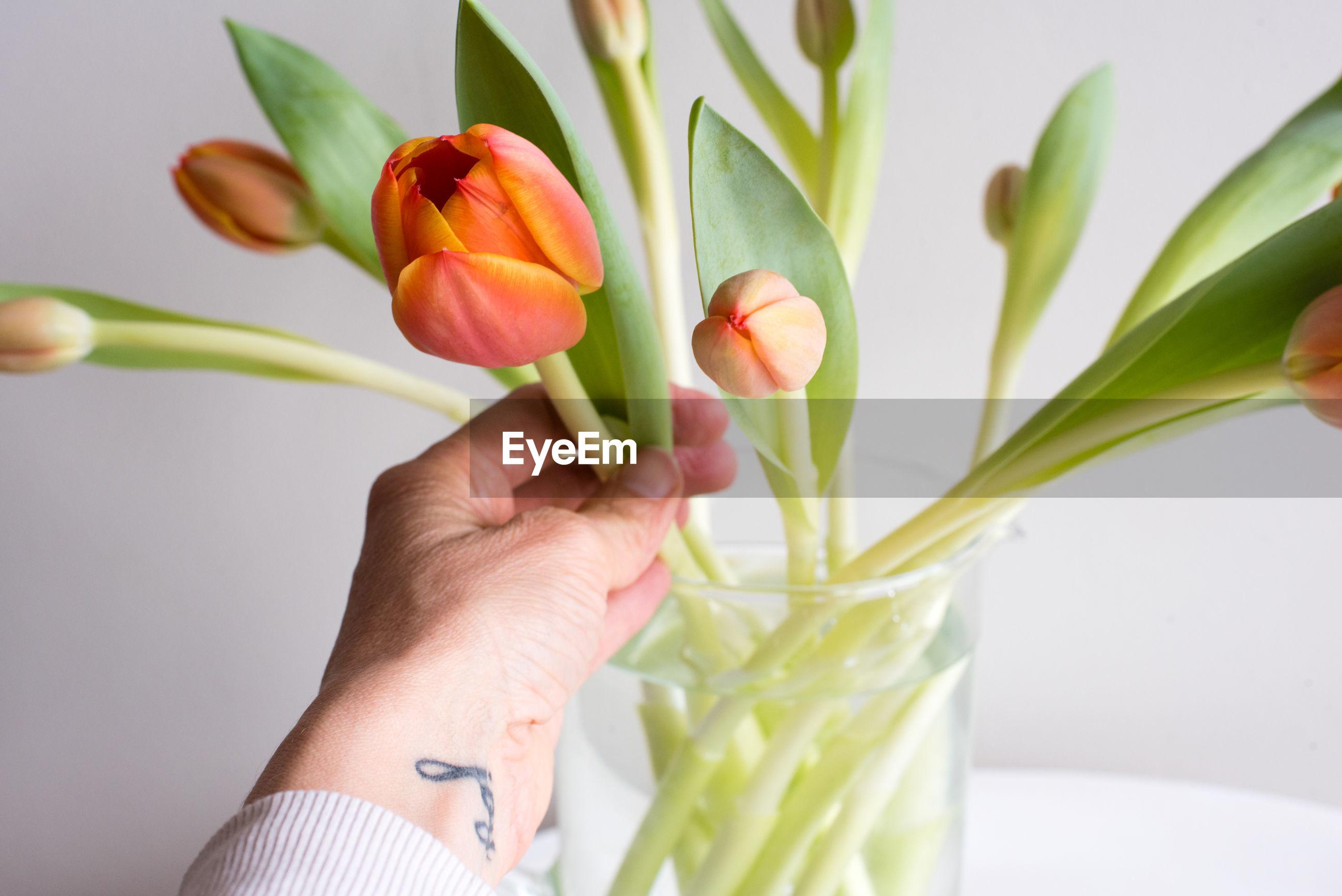 Cropped image of hand holding orange tulip in vase against white background