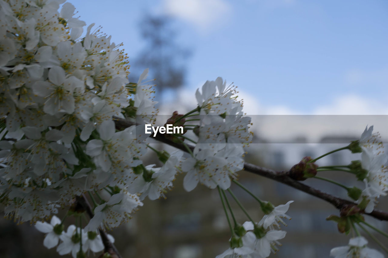 flower, fragility, white color, beauty in nature, tree, nature, blossom, apple blossom, growth, apple tree, springtime, botany, orchard, freshness, branch, twig, petal, no people, day, plum blossom, flower head, close-up, stamen, outdoors, blooming, sky