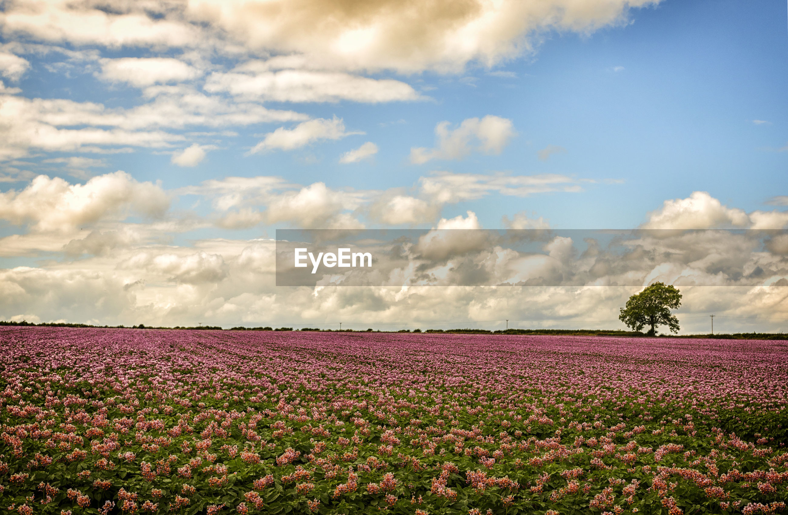SCENIC VIEW OF FLOWERS GROWING IN FIELD AGAINST SKY