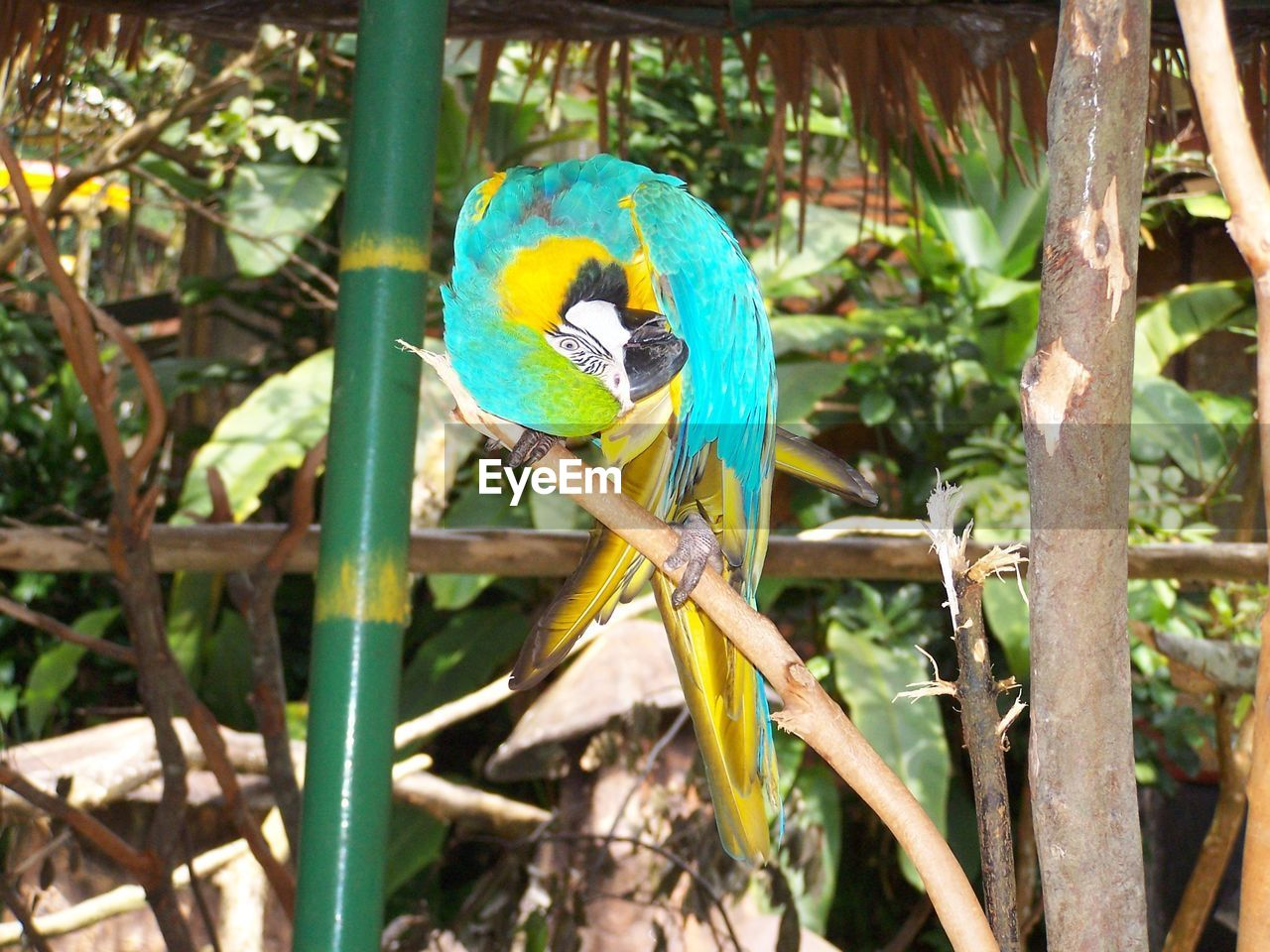 animal themes, one animal, animals in the wild, perching, bird, parrot, nature, day, animal wildlife, tree, outdoors, no people, gold and blue macaw, branch, beauty in nature, macaw, multi colored, full length, close-up, rainbow lorikeet