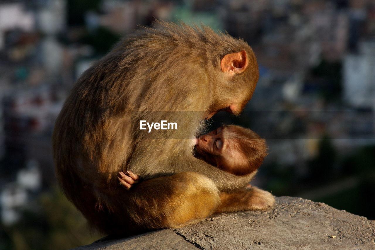 Primate Feeding Young Monkey On Rock