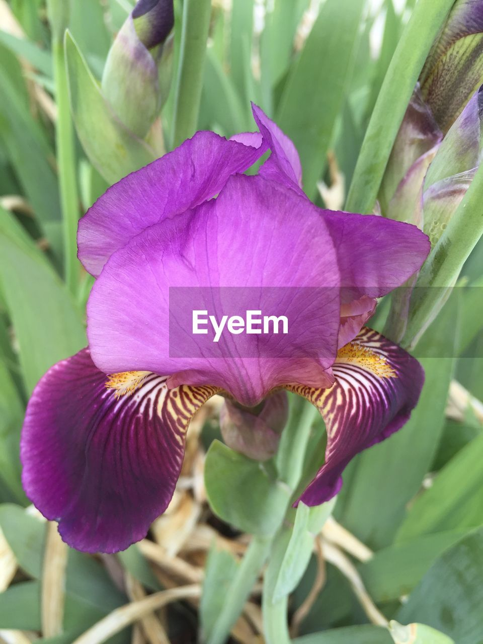 flower, petal, fragility, beauty in nature, growth, freshness, purple, nature, plant, flower head, close-up, no people, day, iris - plant, outdoors, leaf, blooming, petunia