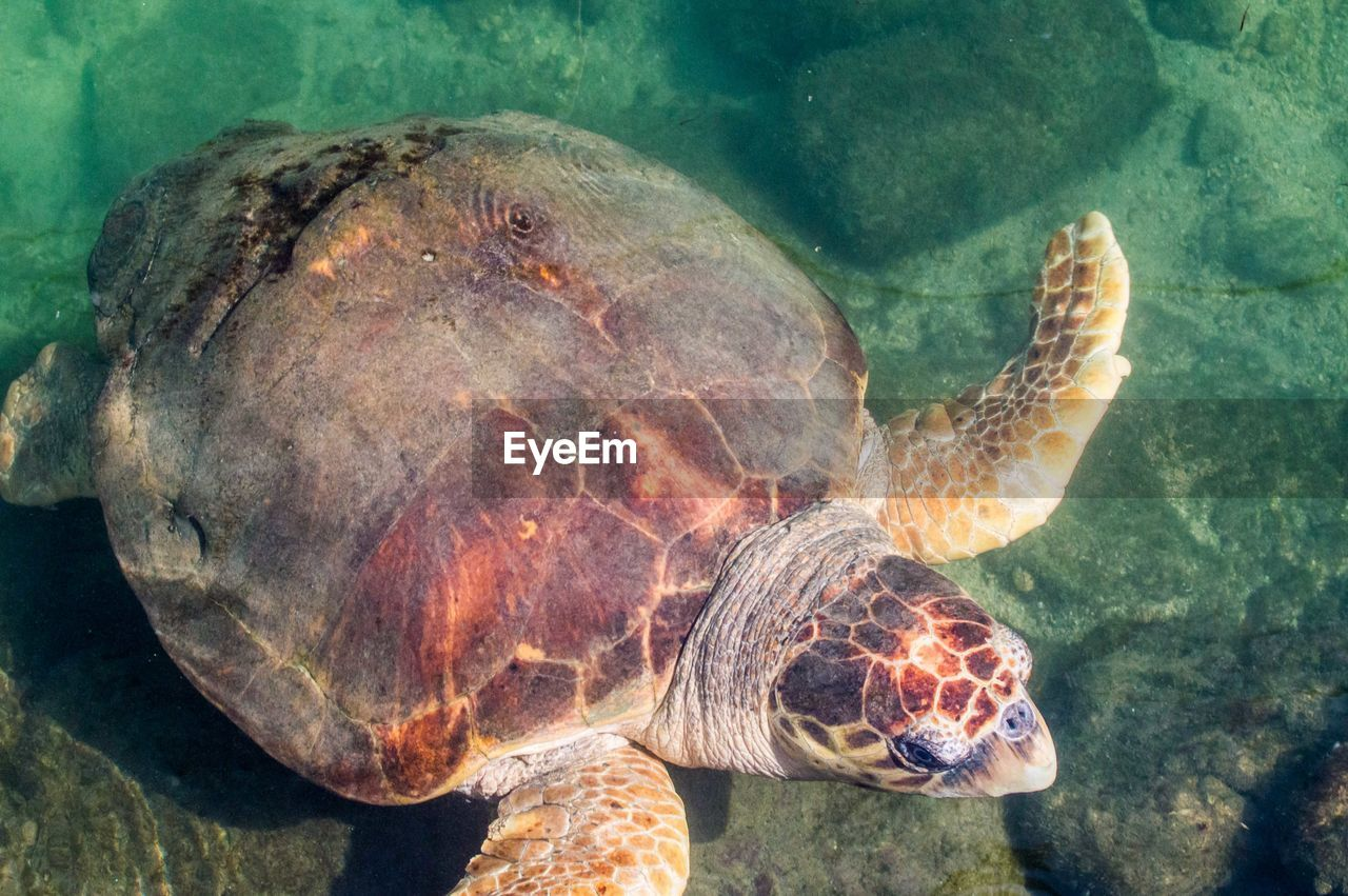 one animal, animals in the wild, animal wildlife, sea life, animal themes, turtle, underwater, reptile, sea turtle, undersea, water, no people, nature, sea, swimming, close-up, tortoise, day, outdoors, tortoise shell
