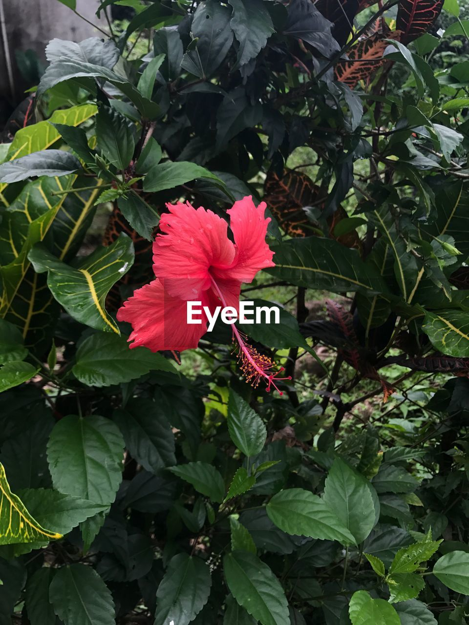 flower, growth, leaf, red, petal, green color, nature, fragility, blooming, plant, beauty in nature, freshness, flower head, hibiscus, day, outdoors, no people, periwinkle
