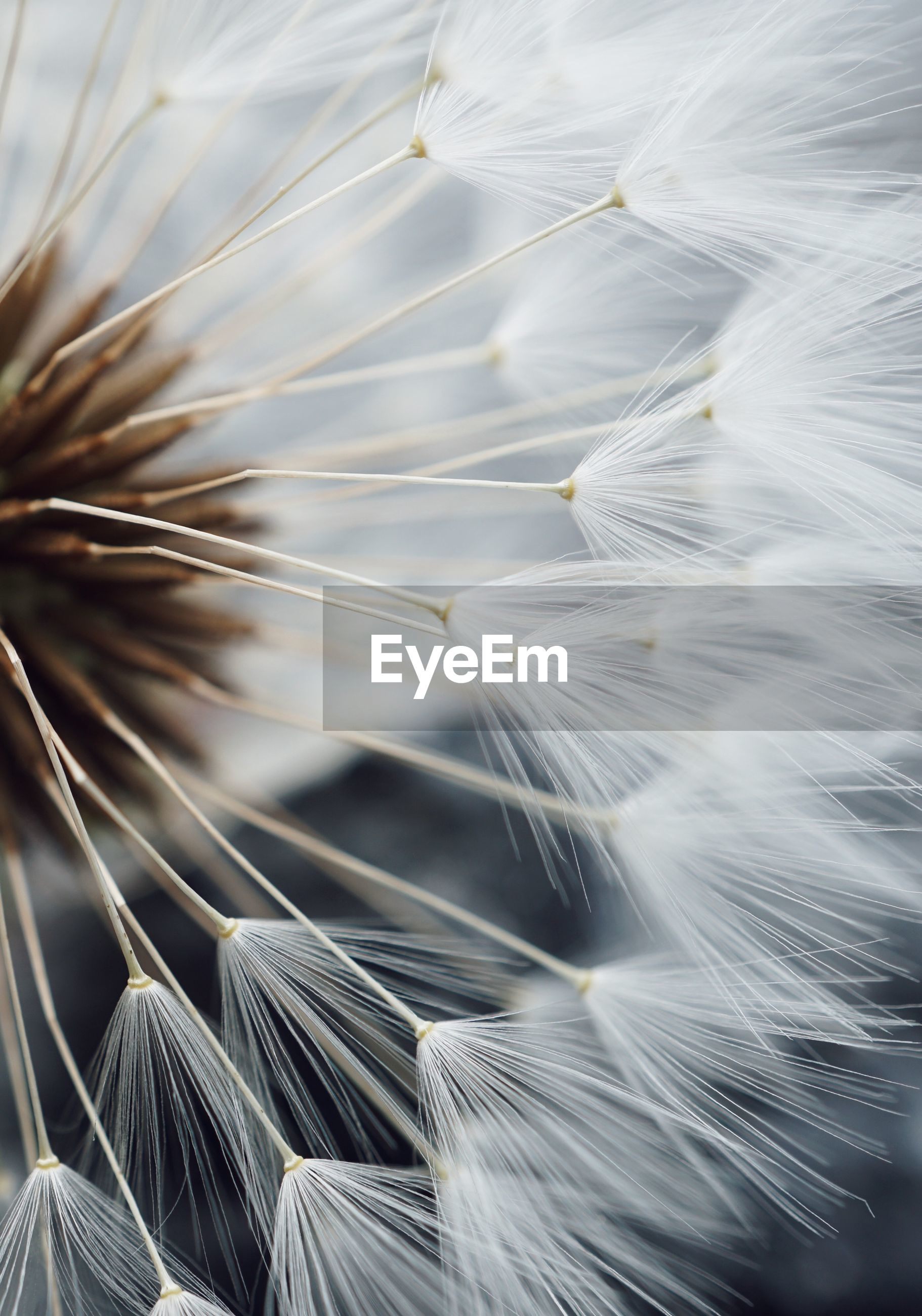Extreme close-up of dandelion flower