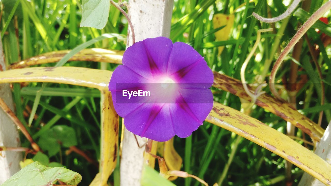 flower, growth, beauty in nature, plant, nature, fragility, freshness, purple, petal, day, close-up, no people, flower head, outdoors, petunia