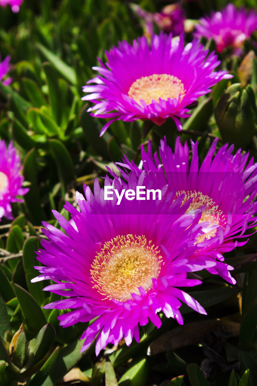 flower, flowering plant, vulnerability, fragility, flower head, plant, beauty in nature, petal, inflorescence, freshness, close-up, growth, pink color, pollen, nature, focus on foreground, no people, purple, day, leaf, gazania
