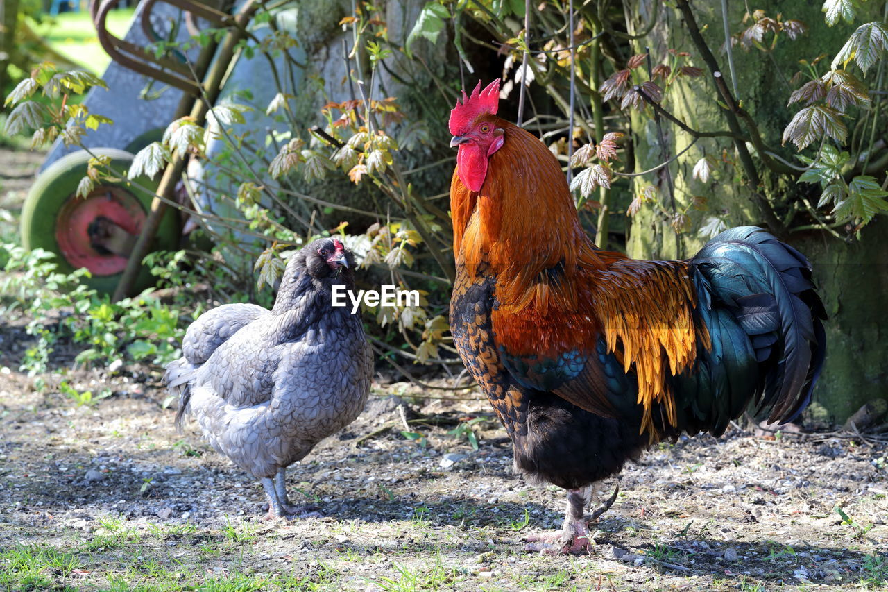 bird, livestock, chicken - bird, animal themes, chicken, animal, pets, domestic animals, vertebrate, domestic, group of animals, mammal, male animal, day, hen, nature, rooster, two animals, no people, plant, outdoors