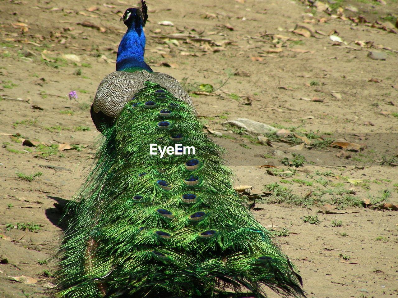 Peacock On Field