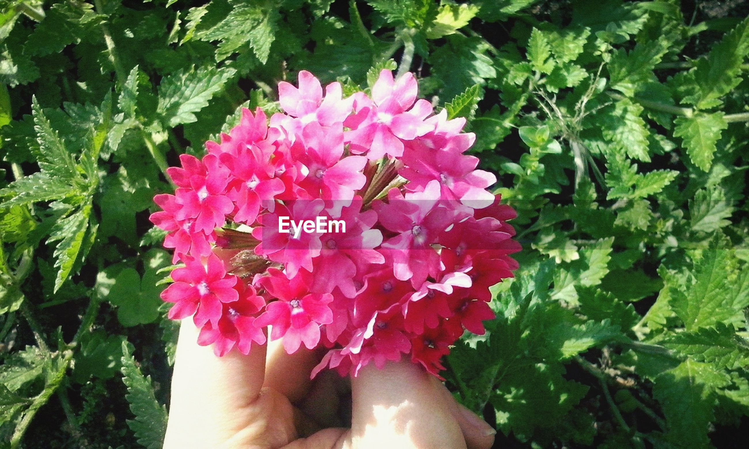 flower, freshness, person, personal perspective, holding, fragility, leaf, growth, lifestyles, part of, petal, leisure activity, plant, pink color, unrecognizable person, beauty in nature, green color