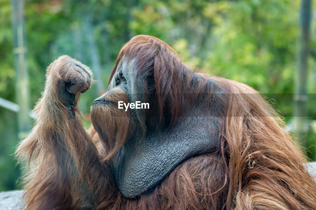animal themes, animal, mammal, primate, monkey, animal wildlife, focus on foreground, two animals, vertebrate, group of animals, animals in the wild, day, hair, no people, ape, brown, orangutan, nature, close-up, outdoors, zoo, hairstyle, animal head