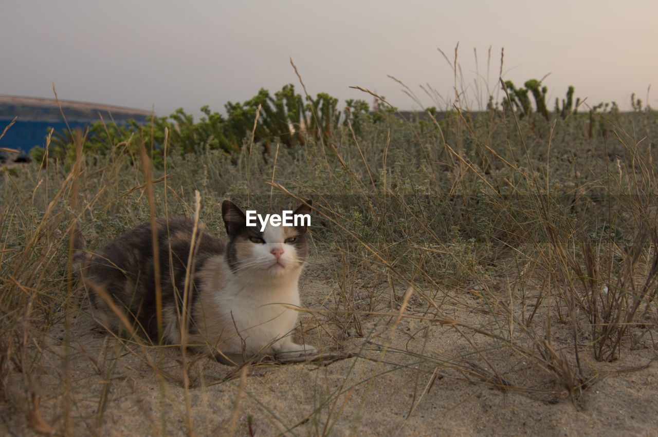one animal, pets, domestic, animal themes, animal, mammal, domestic animals, plant, vertebrate, land, nature, field, no people, grass, cat, sky, domestic cat, feline, looking, day, whisker