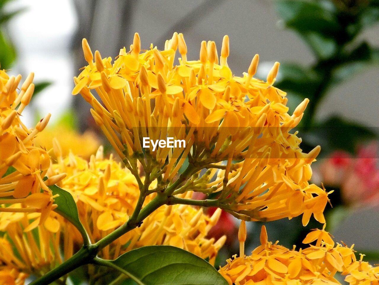 Close-up of yellow ixora blooming outdoors